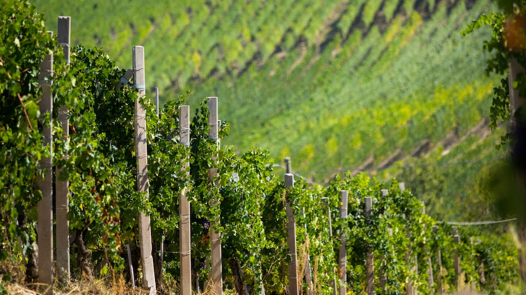 Vilka är de viktigaste druvorna i Italiens vingårdar? Andreas Grube guidar dig.