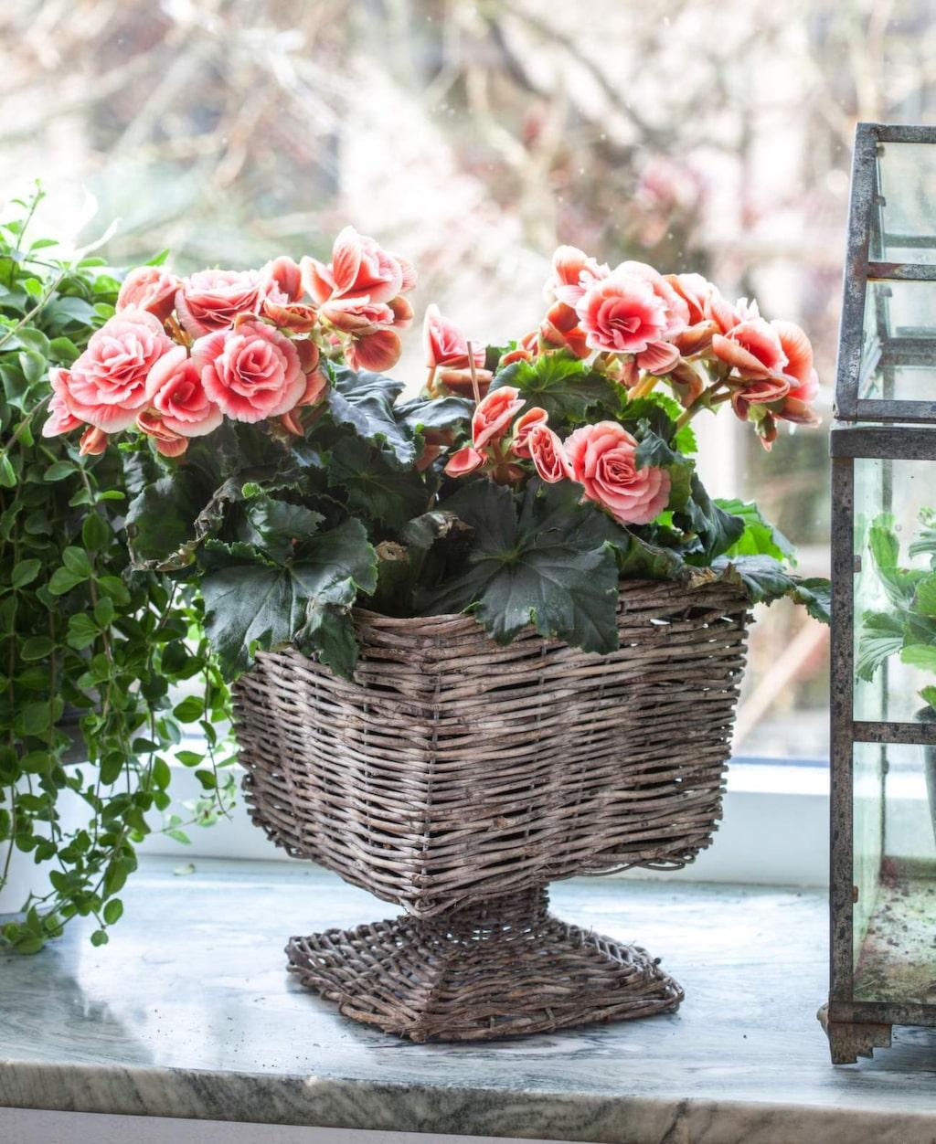 Begonia är blomman som nästan behöver torka ut innan den får vatten igen, den får aldrig stå helt blöt. Och på vintern krävs ännu mindre vatten. Tillför gärna svag näring varannan vecka under blomningen för bästa resultat.