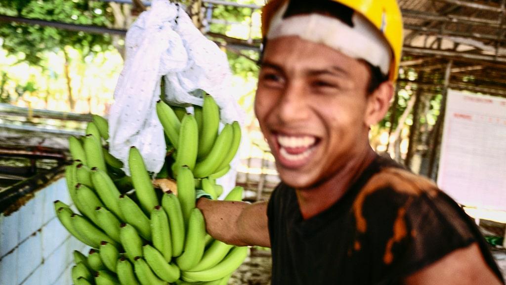 I Finca Rio Estrellas stora plåtskjul sorteras bananstockarna som skärs ner i klasar och läggs i en bassäng för tvätt och sortering medan de långsamt flyter fram mot packavdelningen. Plantaget har närmare 200 000 plantor som skördas året runt. Det är bland annat härifrån som bananerna hemma i snabbköpet har sitt ursprung.