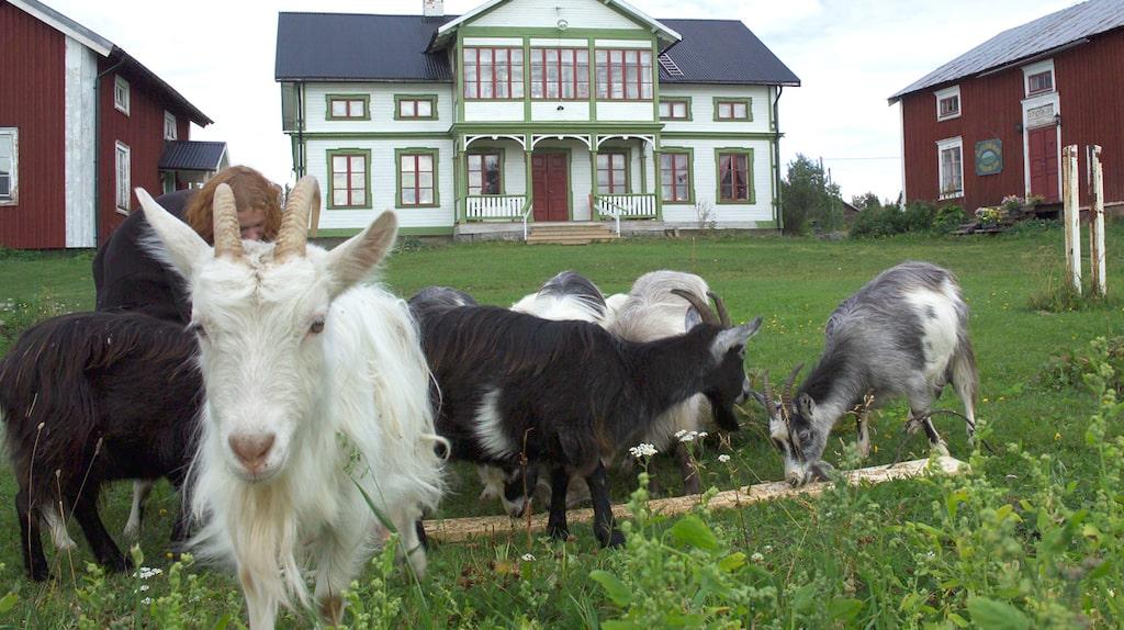 Missa inte getosten från Raftsjöhöjdens gårdsmejeri.