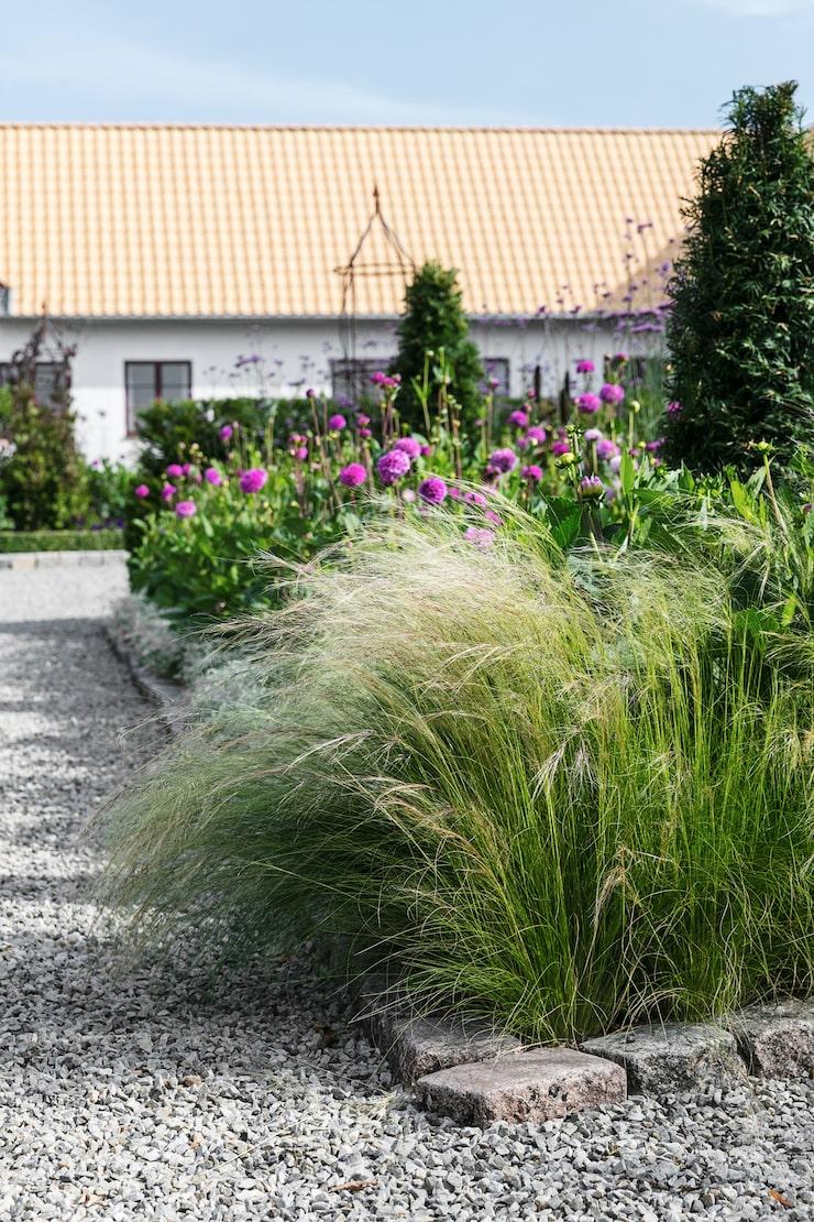 Längs grusvägen upp mot huset växer mängder av dahlior, snötörel och i förgrunden syns svansfjädergräs.