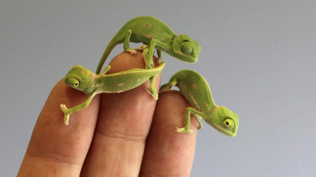 Som syns på bilderna är ungarna så små att de ryms på en fingertopp.