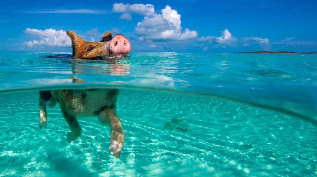 <p>Grisarna på Big Major Cay Island har inga problem med att simma.</p> <p><br></p>