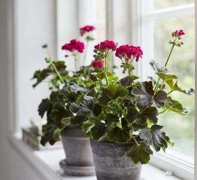 Chokladpelargonerna funkar både på fönsterbrädan och som utplanteringsväxt.