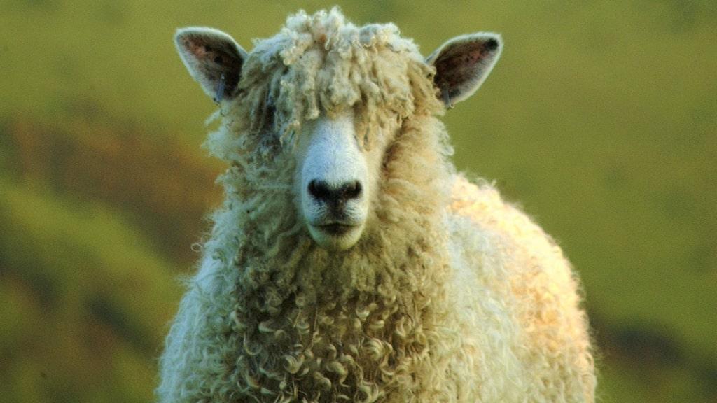 Den lokala fårrasen har avlats fram igen efter att ha varit nästan utdöd.