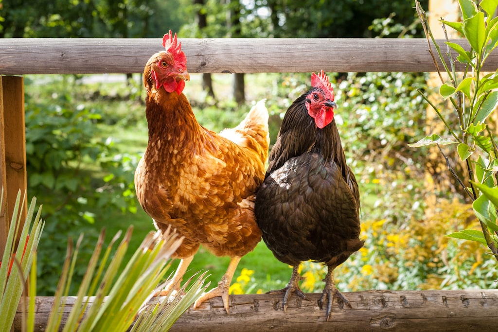 Kontrollera att hönsen är friska, att de inte ser hängiga ut och är fria från ohyra.