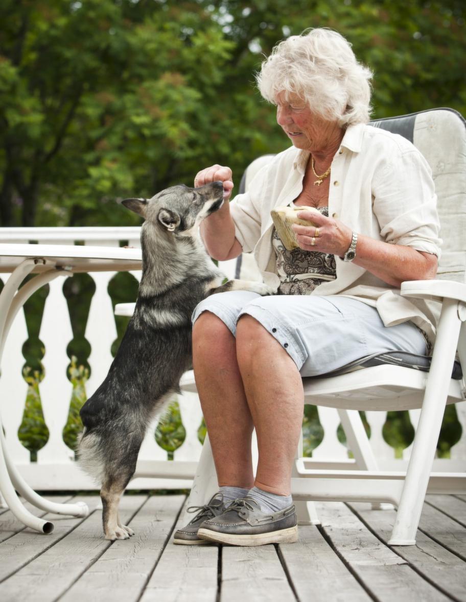 """<span style=""""text-decoration: underline;""""><strong>TRICK: HÄMTA EN SKO</strong></span><br><strong>Steg 1: En god belöning.</strong> Lägg  ett föremål som hunden gillar framför dig och uppmuntra hunden att ta  det. Barbro sa """"får matte den"""" till sin hund Dixi. När Dixi tog  föremålet i munnen bytte Barbro snabbt ut det mot en godisbit. Efter  några gånger förstod Dixi vad det handlade om och Barbro kunde vänta  längre med att byta med godbiten. När föremålet ramlade i golvet blev  det ingen belöning utan de började om igen."""