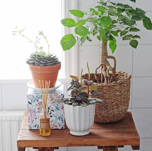Tre växter för badrummet.