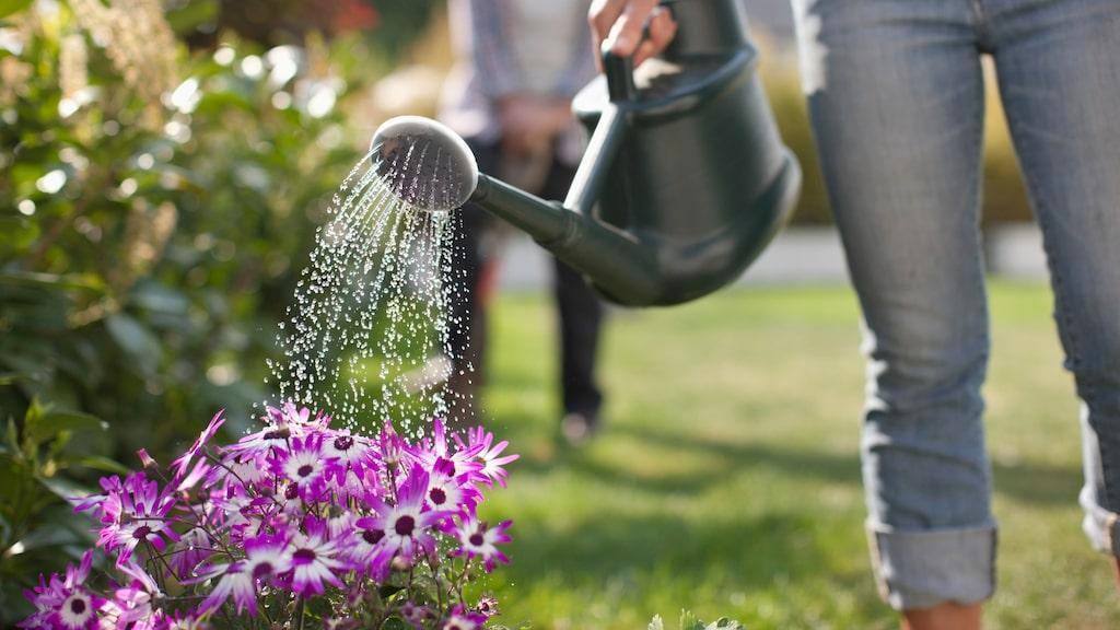 Fröer till växter som kommer från varmare länder behöver ofta förodlas inomhus för att hinna blomma under den svenska sommaren. Läs om tipsen nedan.