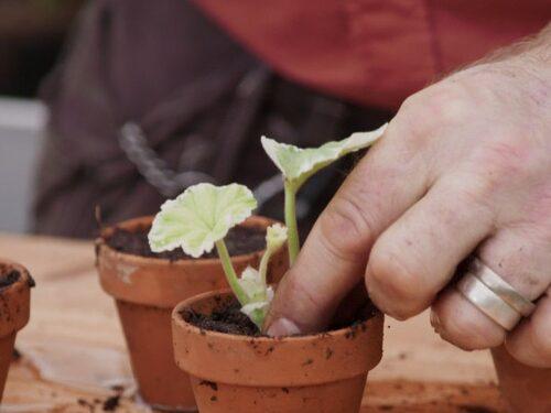 """Du skär av grenen under ett bladfäste eftersom det är där tillväxtpunkterna finns. Här är det Bosse Rappne i """"Äntligen hemma"""" på TV4 som planterar en stickling i jord."""