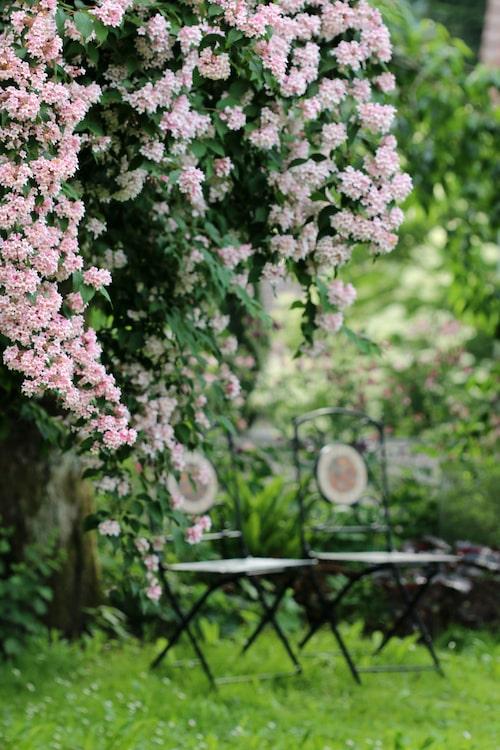 I maj till juni översållas paradisbusken av sina rosa, trattformade blommor och elegant överhängande grenar som är fulla av gröna glänsande blad