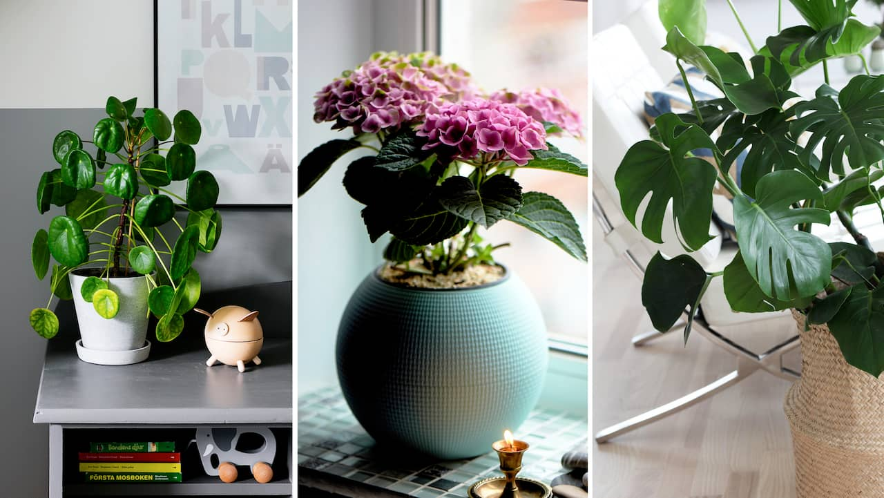 vanliga växter i hemmet