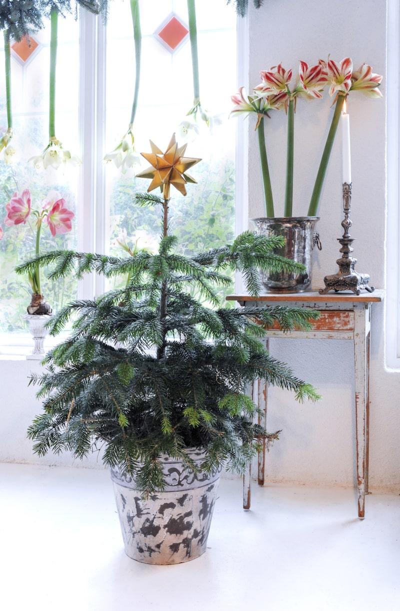 <p>I en vacker kruka har Håkan placerat en av sina små kungsgranar. Granarna är köpta i kruka och när julen är över planteras granarna ut i trädgårdslandet, får växa till sig lite för att sedan kunna användas nästa år.<br></p>