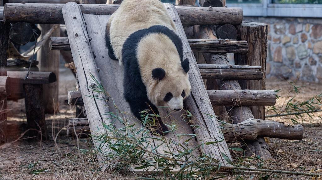 Videon är inspelad i Peking Zoo's gamla pandapaviljongen.