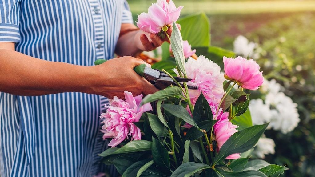 Att ha perenner i trädgården som återkommer år efter år utan större ansträngning är underbart.