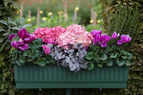 Det är fint att blanda lila cyklamen med hortensior i olika rosa toner och silverfärgade blad av alunrot.