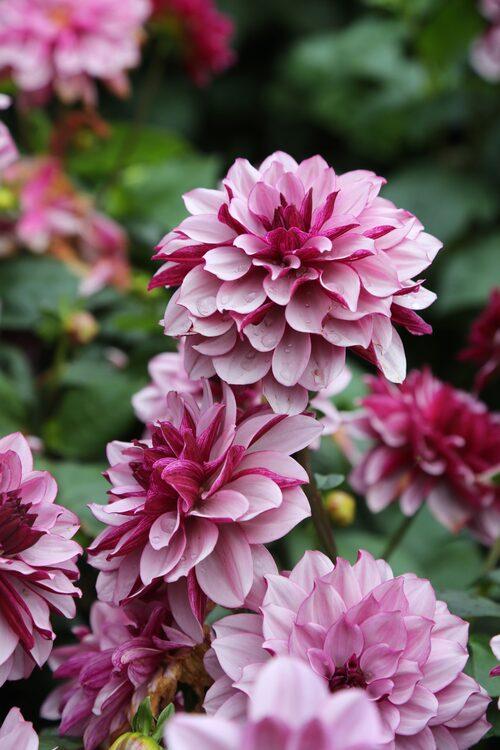 """""""Creme de Cassis"""" är en elegant favorit av näckrosdahlia med blommor som skiftar i olika nyanser av vinrött där blombladens baksida är betydligt mörkare än framsidan. Blommorna blir runt 12 centimeter i diameter och plantan blir runt 80 centimeter hög."""