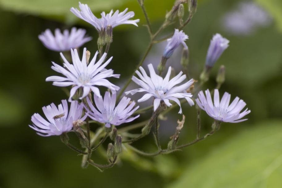 Lila. Parksallatens blad breder ut sig i täta mattor, de blålila blommorna sitter på meterhöga stänglar. <br>