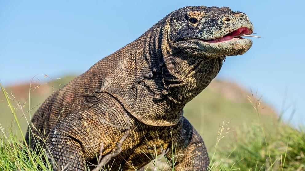 """Komodoön är verklighetens """"Jurassic Park""""."""