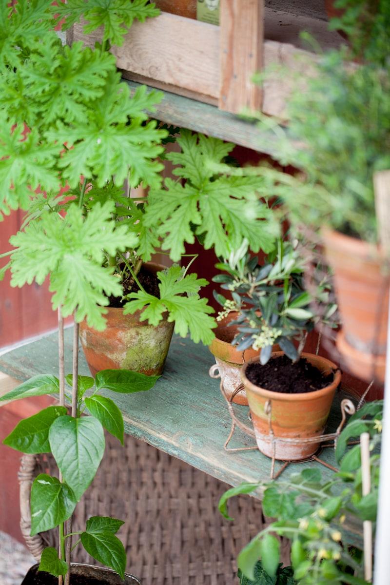 Kryddor och tomater är perfekt att odla i ett litet växthus.