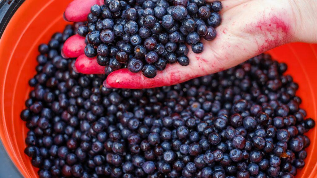 Blåbär är både gott och nyttigt – de sägs vara inflammationshämmande, blodrenande, kunna förebygga åderbråck samt förbättra läkning av sår.