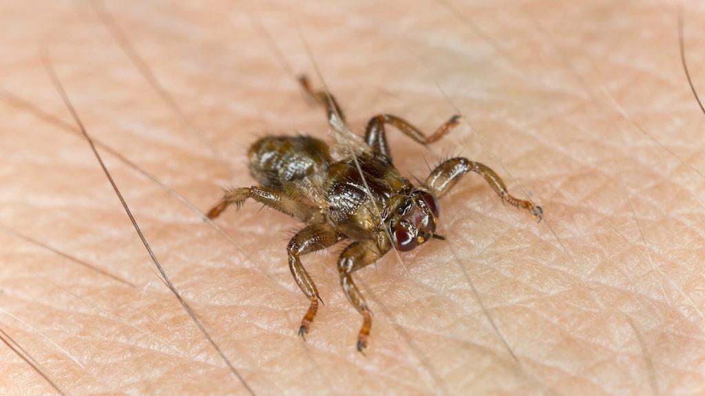 Kristina har aldrig varit med om något liknande, trots att hon ofta är i skogen. Och hon är inte ensam – många läsare har hört av sig om besvärande älgflugor och flera vågar inte vistas i skogen under hösten längre.