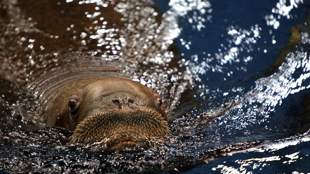 På akvariet Oceanogràfic finns fler än 45 000 exemplar av 500 marina arter som hajar, valrossar, sjölejon, rockor och pingviner.