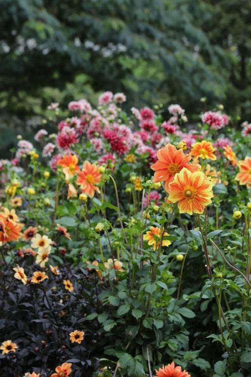 Dahlior finns i en mängd olika sorter. Den orangegula 'Loki Schmit' är en enkelblommande dahlia.