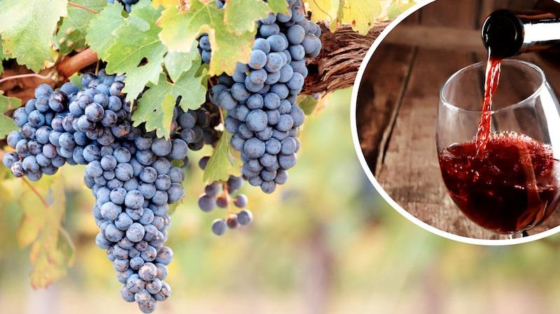 Svarta vinbär, körsbär och aceton... Lär känna vanliga druvor.