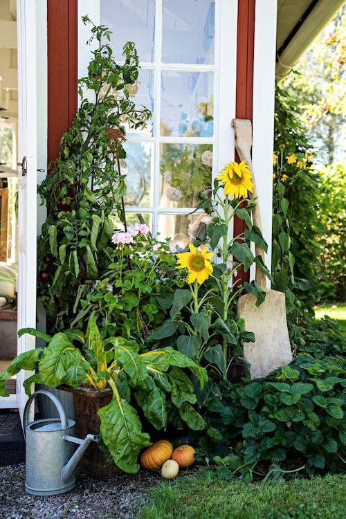 Odlingsglädjen är stor hos Gunilla och David och skira pelargoner samsas med robusta solrosor.
