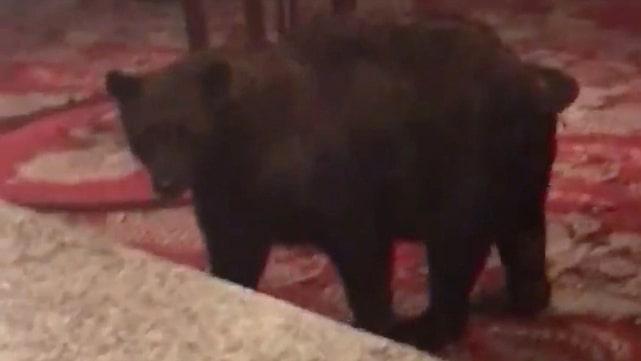 Natten till torsdag vandrade plötsligt en björn in i hotellets lobby och klättrade upp på möblerna.