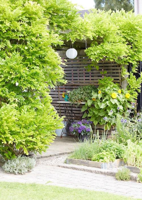 I pallkragarna växer bland annat gräslök, persilja och mynta. På pergolan klänger ett blåregn som tagit nästan åtta år att få så här stort.