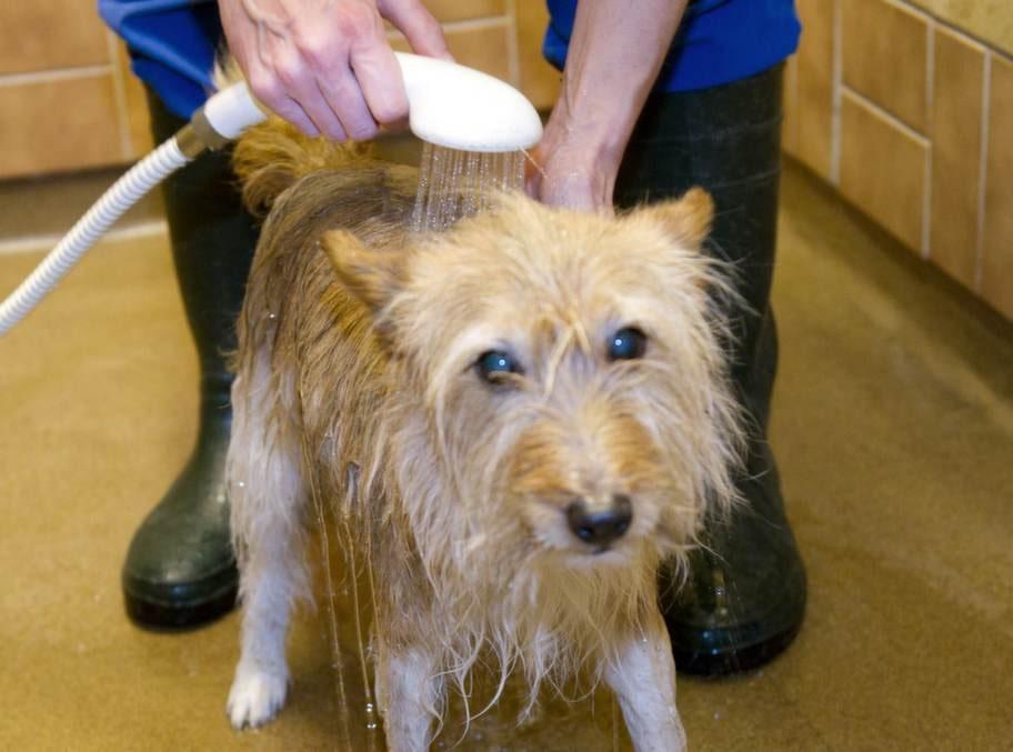 <strong>6. Skölj noga. </strong>Om din hund tycker att  det är obehagligt att bada kan det vara frestande att lyfta upp den så  fort som möjligt, men det är viktigt att skölja bort alla  schamporester.