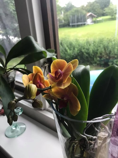 Helens orkidéer som åter börjat blomma.