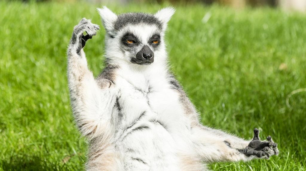 Lemurer gör yogaposer helt naturligt.