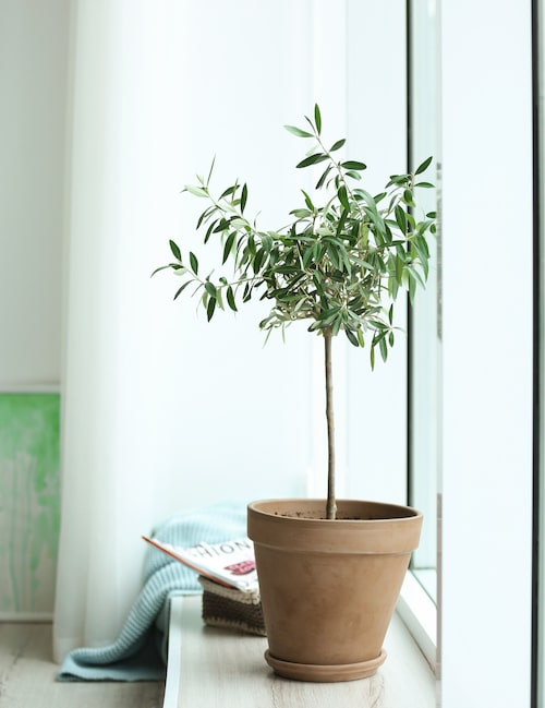 Har du olivträdet utomhus måste du ta in den så fort kylan kommer och sommaren är över. Viktigt att den får ljus. Olivträdet gillar inte för torr luft, du kan gärna ta som vana att spreja vatten kring dess bladkrona någon gång i veckan, aldrig direkt på bladen utan mer i luften. Vattna mycket sparsamt.