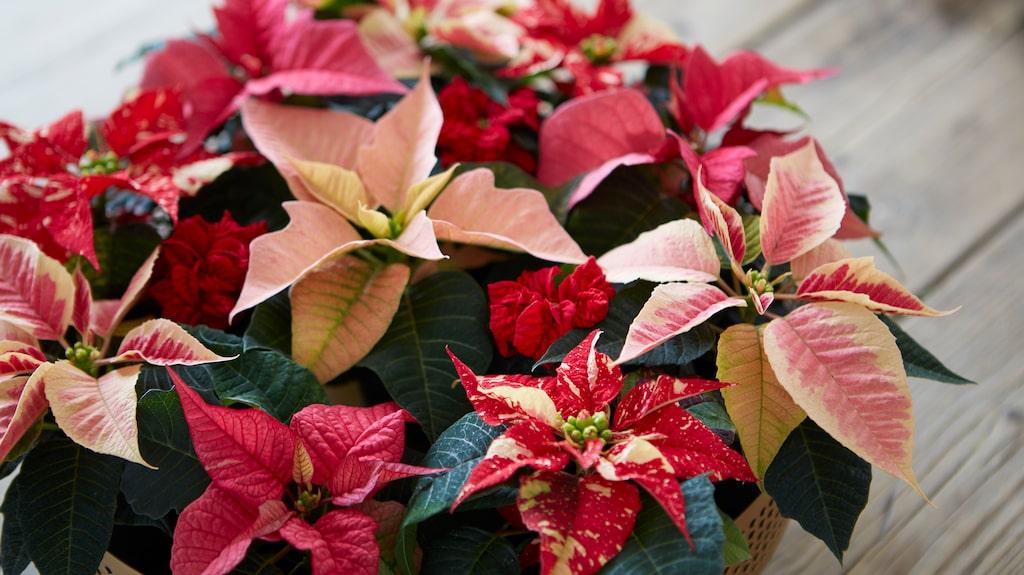 Julstjärnor finns i flera olika färger.