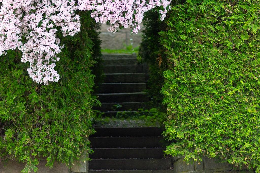 Paradisbusken fungerar både som buskage och häck.