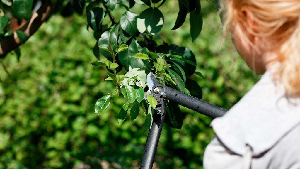 Beskärning är en förutsättning för att träd och buskar ska hålla formen och må bra.