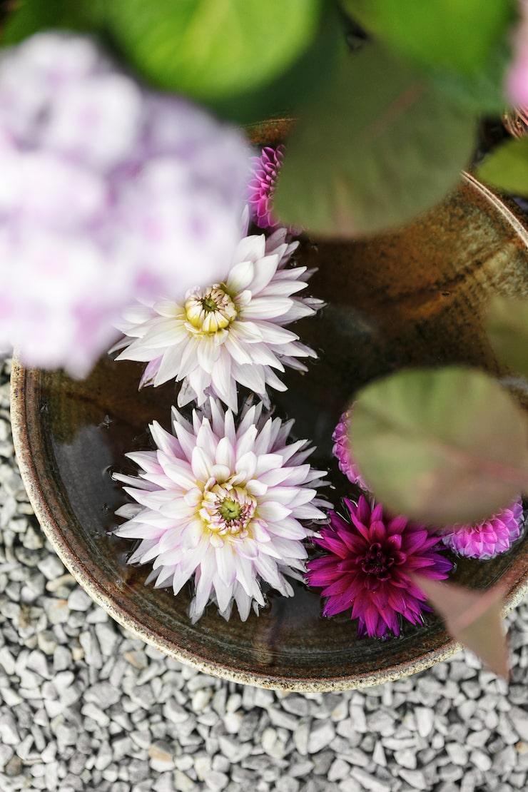 Några dahlior i rosa och lila i ett fat med vatten blir ett vackert blickfång.