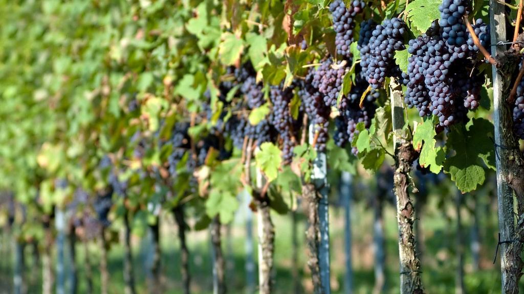 I Sonomas vingårdar är pinot noir kungen bland druvor.
