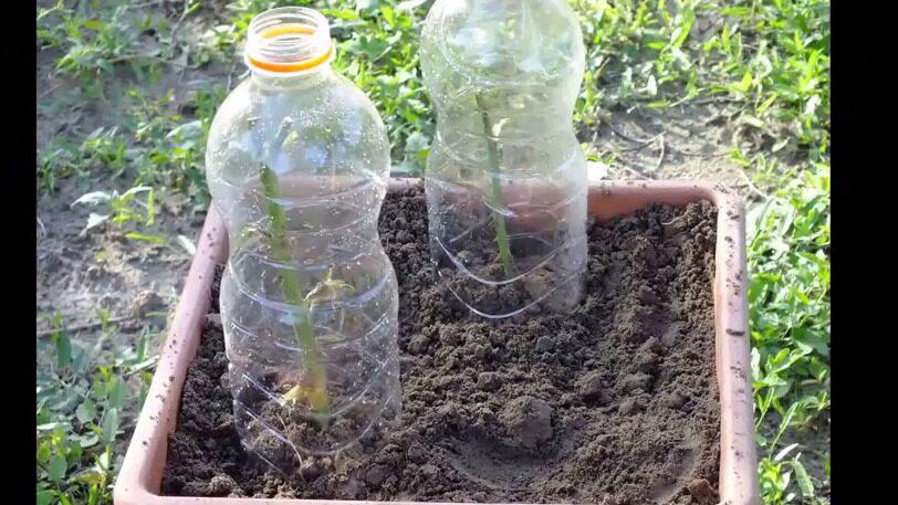 Vill du kan du skära av botten på en petflaska och sätta över så blir det som ett litet växthus.