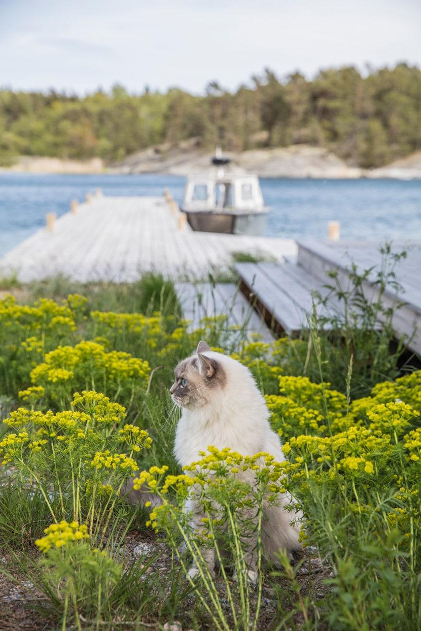 Familjens ena katt, Lovis, en ragdoll, älskar att strosa runt på ön.