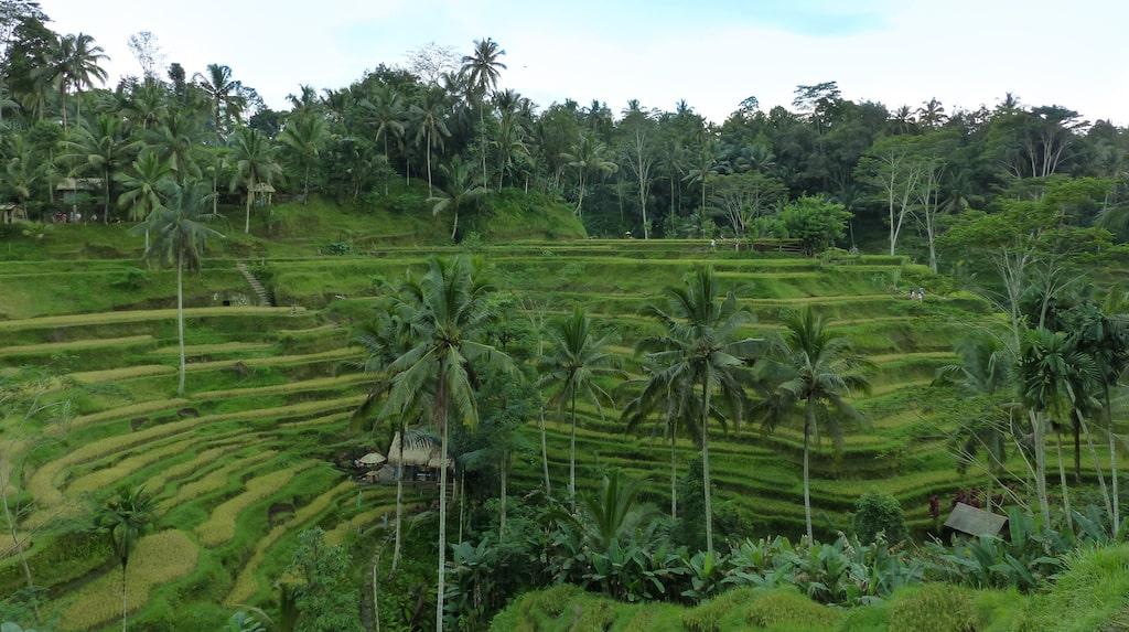 Risfälten i Tegalalang slingrar sig längst berget.