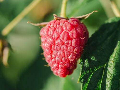 Hallon innehåller mycket antioxidanter och fribrer. Dessutom ökar de kroppens fettförbränning.