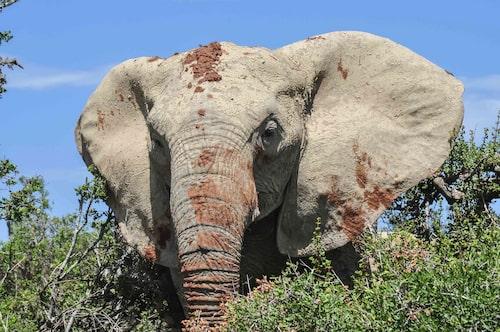 Se vilda djur i Krugerparken i nordöstra Sydafrika.