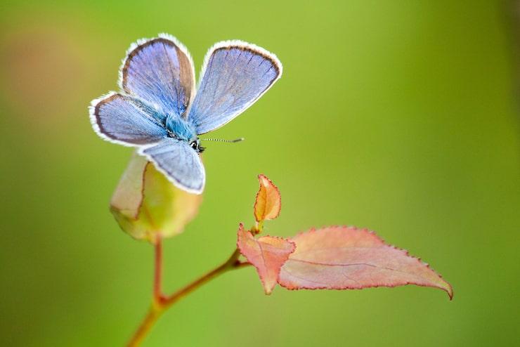 Silverblåvinge och flera andra fjärilsarter har det tuffare i dag, jämför med för 70 år sedan.