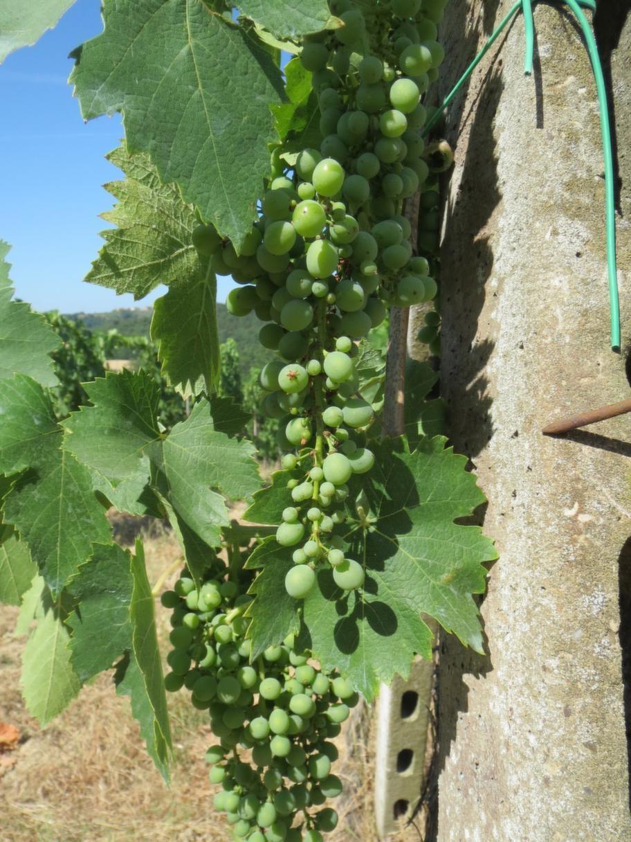 Il Paretaio är omgivet av en vinodling.