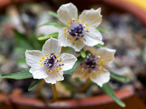 Japansk vintergäck Eranthis pinnatifida.