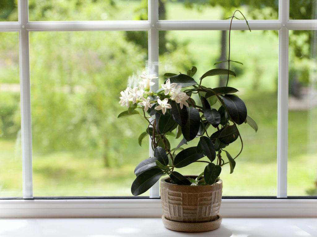 Om du tål den starka doften kan en jasmin i sovrummet göra underverk för din sömn.